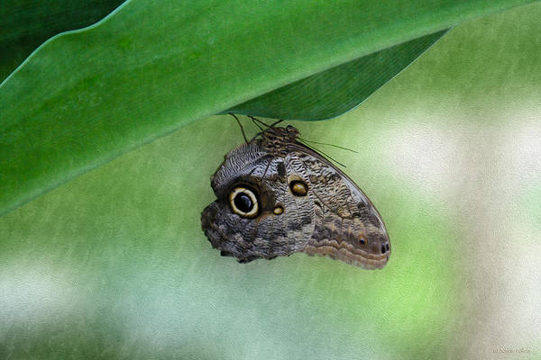 Photograph - Owl Butterfly Hanging by Bonnie Follett