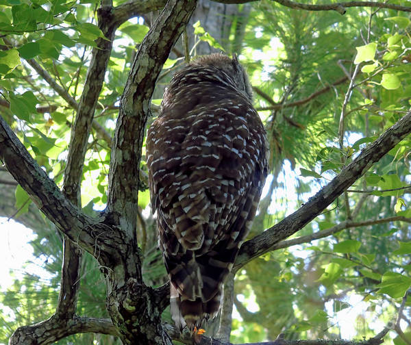 Photograph - Owl Camouflage by D Hackett