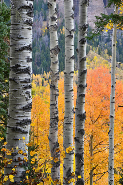 Photograph - Owl Creek Aspens by Ray Mathis