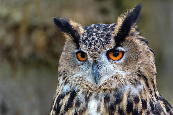 Photograph - Owl Eyes by Cliff Norton