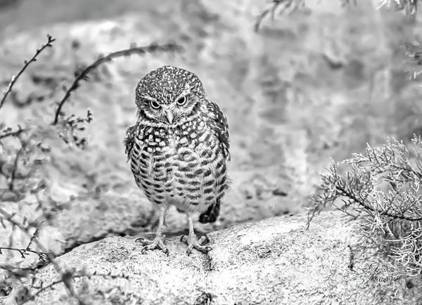 Photograph - Owl Eyes by David Millenheft
