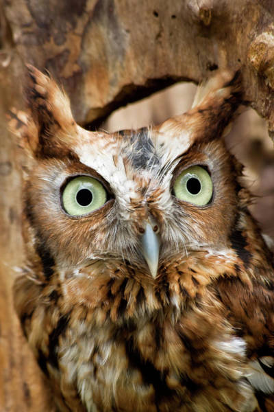 Photograph - Owl Eyes by Jill Lang