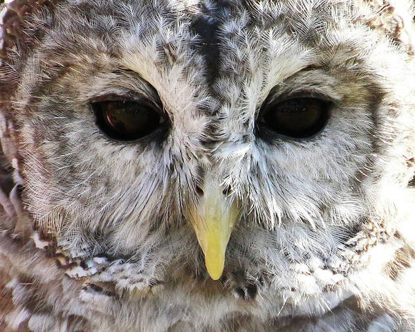 Photograph - Owl Eyes by William Selander