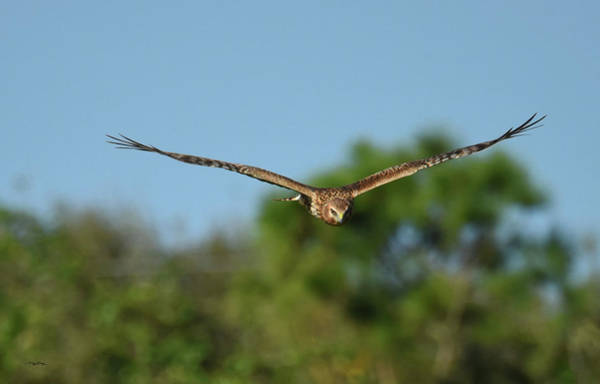 Photograph - Owl Faced Harrier by Sally Sperry