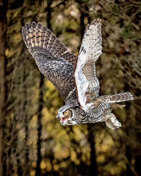 Owl In Flight Photograph - Owl In Flight by Pat Eisenberger