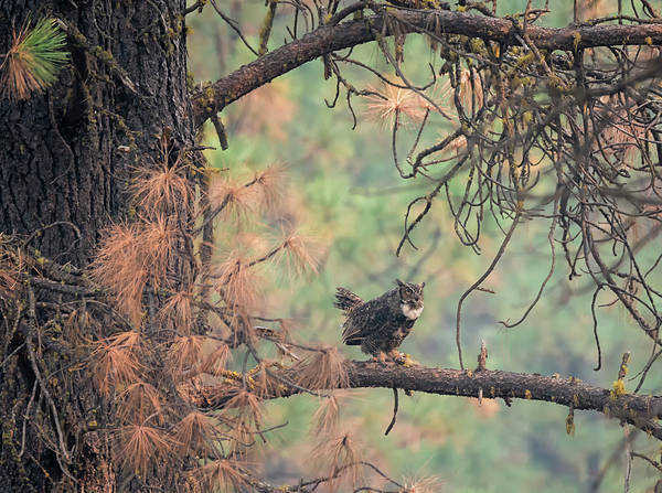 Photograph - Owl In The Forest by Loree Johnson