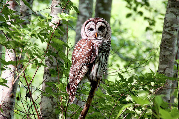Photograph - Owl In The Forest by Peggy Collins