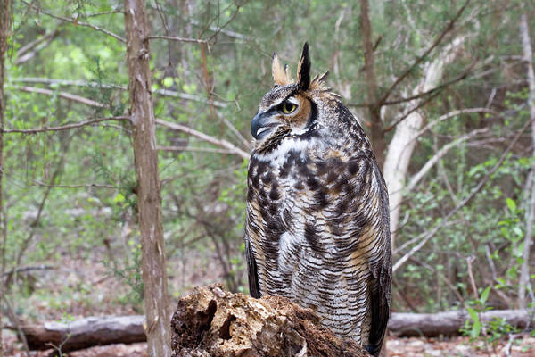 Photograph - Owl In The Woods by Jill Lang