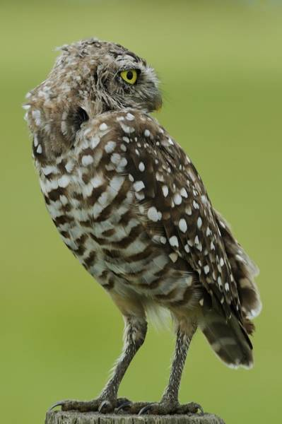 Photograph - Owl Looking Back by Bradford Martin