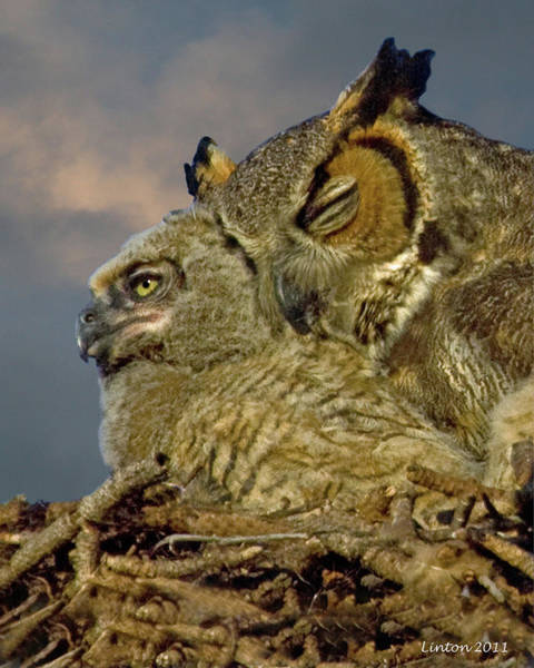 Photograph - Owl Mother And Nestling by Larry Linton