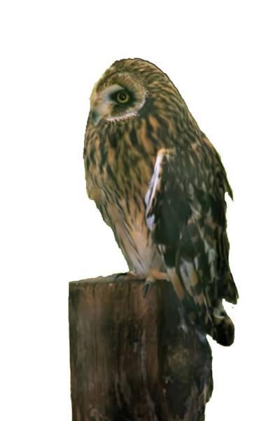 Photograph - Owl by Pamela Walton