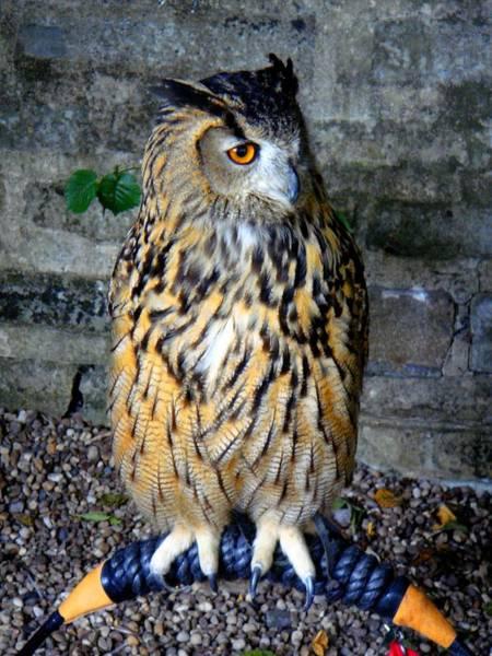Photograph - Owl by Roberto Alamino