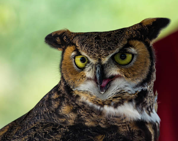 Owl Tongue Art Print