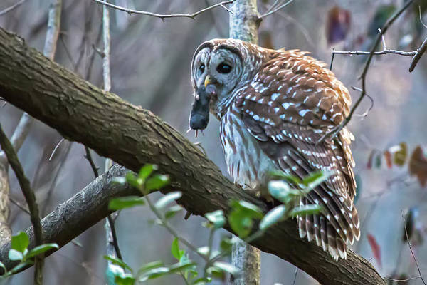 Photograph - Owl With Dinner 01 by Jim Dollar