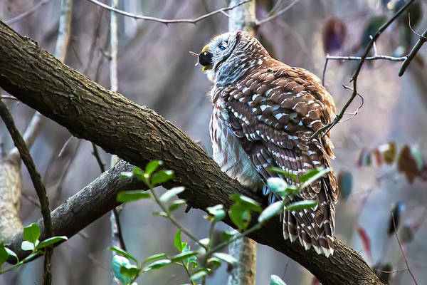 Photograph - Owl With Dinner 02 by Jim Dollar