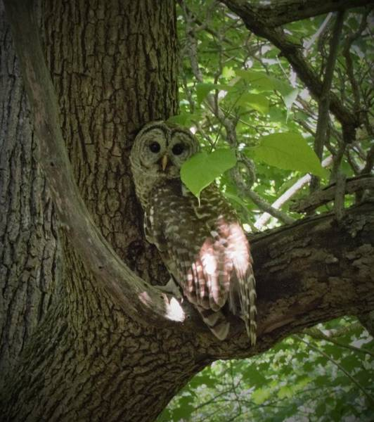 Photograph - Owl With Leaf by R  Allen Swezey