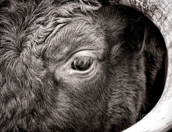 Photograph - Ox Eye by Olivier Le Queinec
