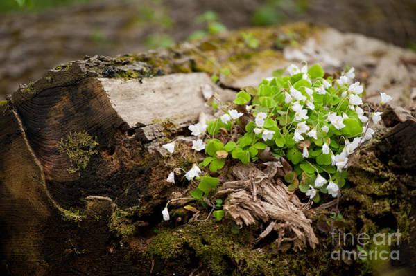 Wall Art - Photograph - Oxalis Acetosella Flowering Plant by Arletta Cwalina