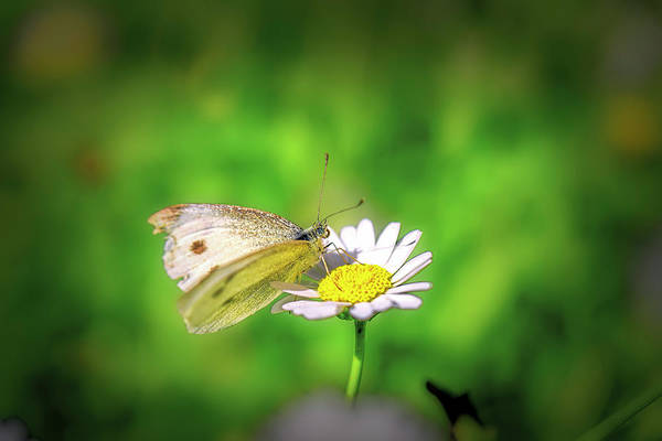 Photograph - Oxeye-daisy And Butterfly by Leif Sohlman