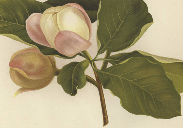 Wall Art - Painting - Oyama Magnolia by English School