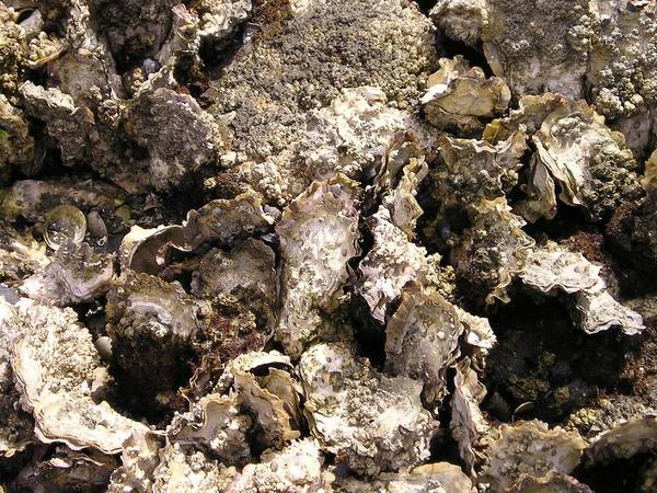 Wall Art - Photograph - Oyster Bed Closeup by Eve Paludan