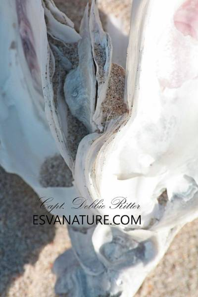 Photograph - Oyster Shell On Beach 3 by Captain Debbie Ritter