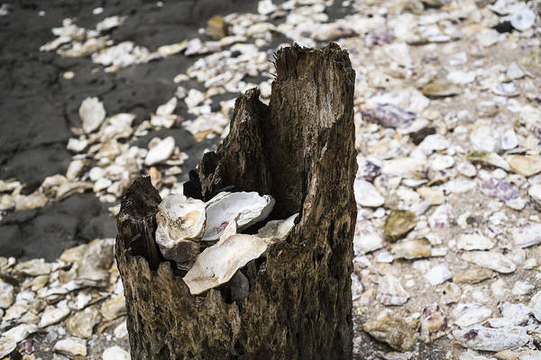 Photograph - Oyster Shells by Robert Potts
