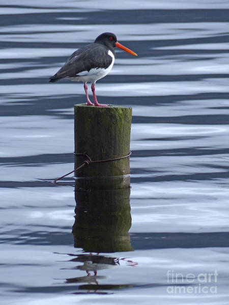 Photograph - Oystercatcher by Phil Banks