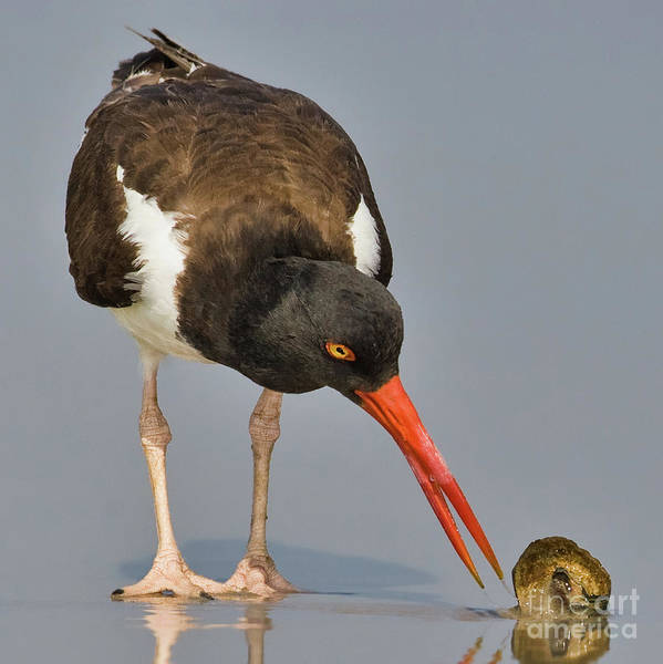 Wall Art - Photograph - Oystercatcher With Shell by Jerry Fornarotto