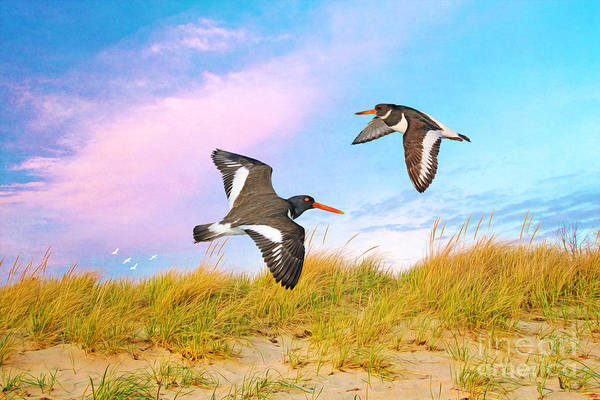 Two Birds Photograph - Oystercatchers On Patrol by Laura D Young