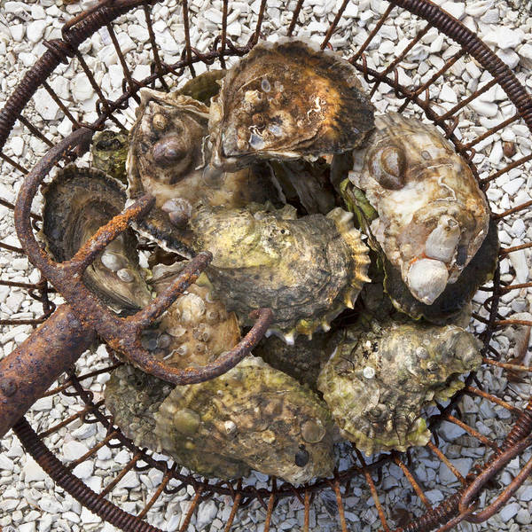 Wall Art - Photograph - Oysters by Charles Harden