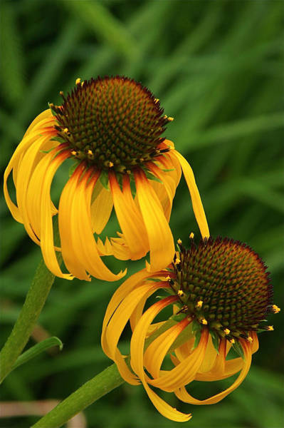 Photograph - Ozark Yellow Coneflowers by Byron Varvarigos