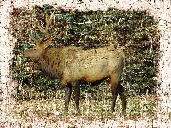 Photograph - Pa. Bull Elk by Rusty R Smith
