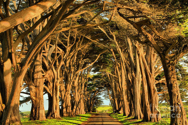 Photograph - Pacific Coast Cypress Tunnel by Adam Jewell