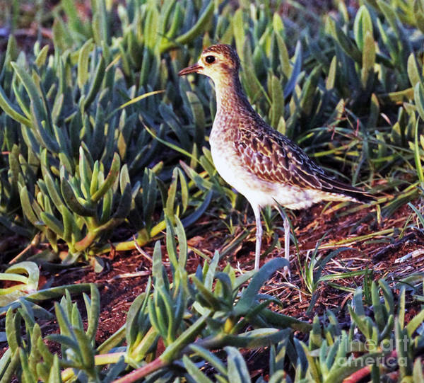 Photograph - Pacific Golden Plover by Jennifer Robin