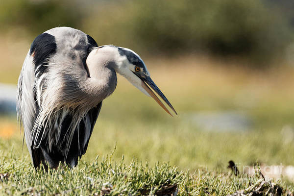 Photograph - Pacific Great Blue Heron In The Grasses by Sue Harper