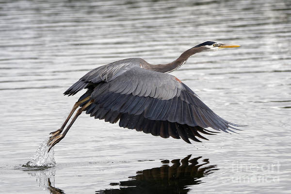 Pacific Great Blue Heron On Lift Off Art Print