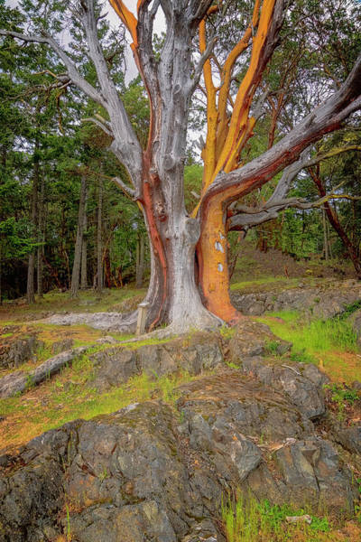 Photograph - Pacific Madrone Tree by Tom Singleton