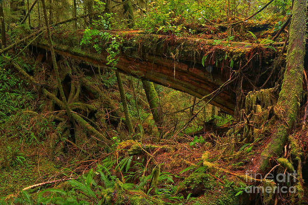 Photograph - Pacific Rim  Natural Bridge by Adam Jewell