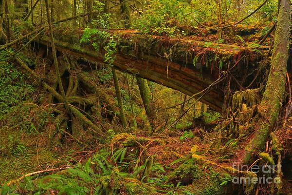 Photograph - Pacific Rim Rainforest Bridge by Adam Jewell