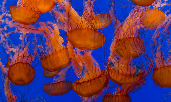 Photograph - Pacific Sea Nettle Cluster 1 by Scott Campbell