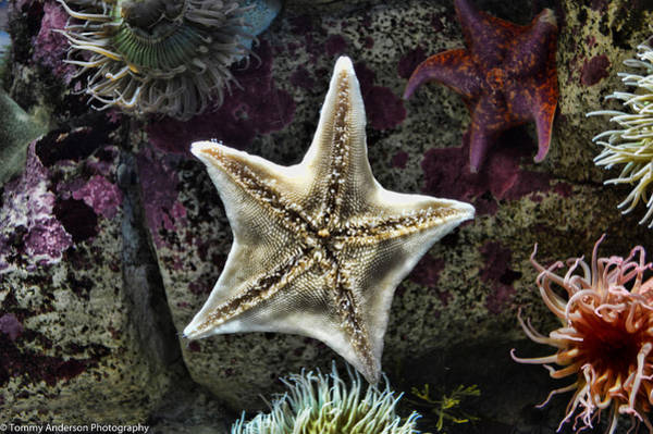 Oct 2013 Photograph - Pacific Starfish by Tommy Anderson