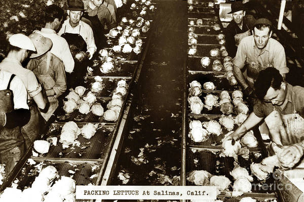 Photograph - Packing Lettuce In Packing Shed Salinas, California Circa 1945 by California Views Archives Mr Pat Hathaway Archives
