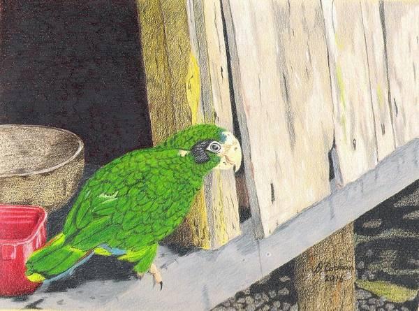 Green Parrot Drawing - Paco At Home by David Cochran