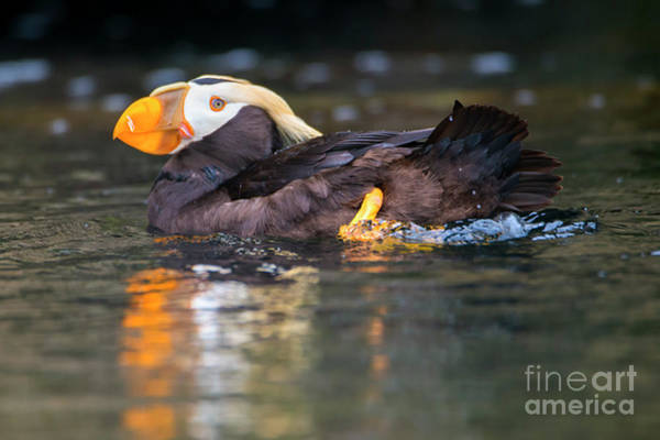 Puffins Wall Art - Photograph - Paddling Puffin by Mike Dawson