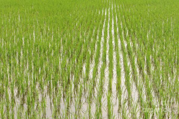 Photograph - Paddy Field by Werner Padarin