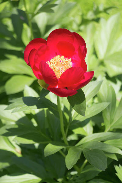 Wall Art - Photograph - Paeonia Early Scout by Dawn Cavalieri