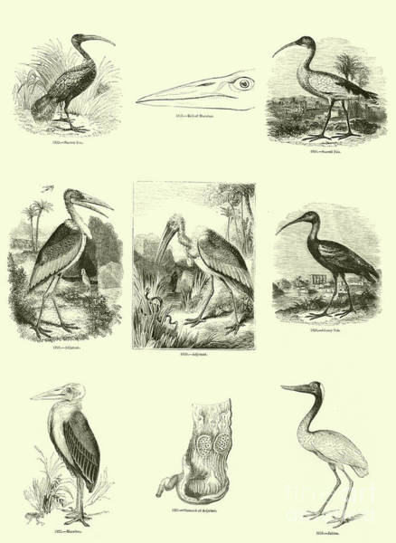 Ibis Wall Art - Drawing - Page From The Pictorial Museum Of Animated Nature  by English School