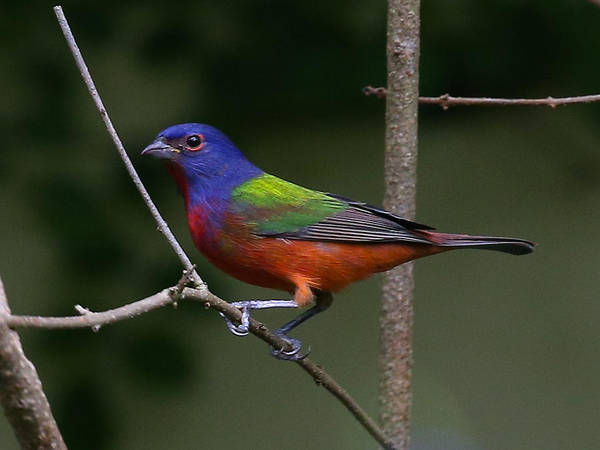 Photograph - Painted Bunting by Dart and Suze Humeston