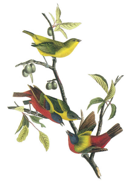 Bunting Painting - Painted Bunting by John James Audubon